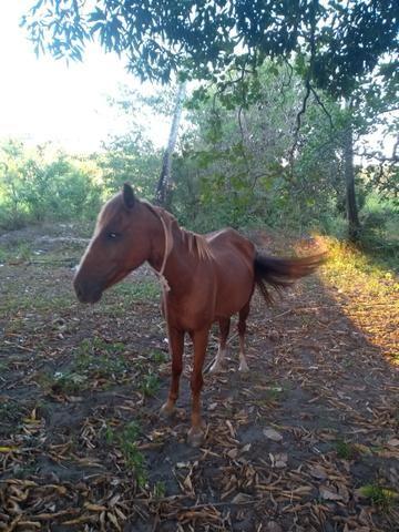 Vendo ou troco uma égua muito boa - Foto 4