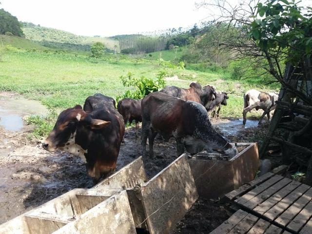 Vendo gado - Foto 3