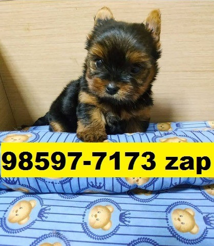 Canil Premium Filhotes Cães BH Yorkshire Maltês Poodle Lhasa Bulldog Pug Beagle