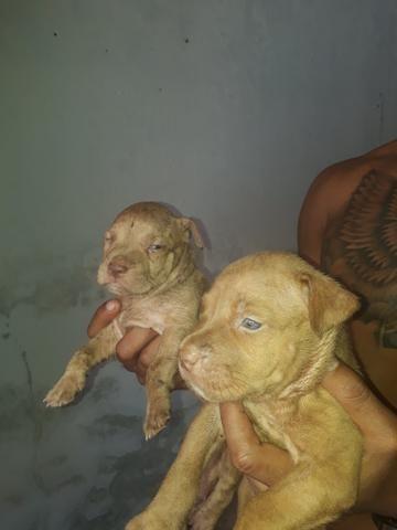 Linda filhote de pitbull olhem bem as fotos - Foto 3