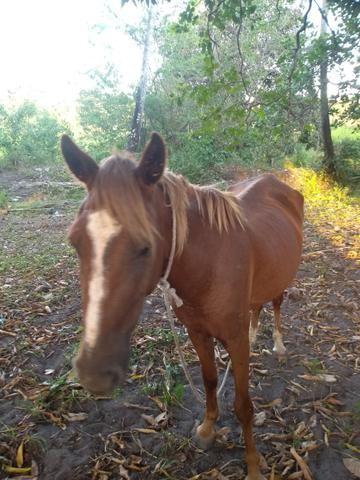Vendo ou troco uma égua muito boa - Foto 5