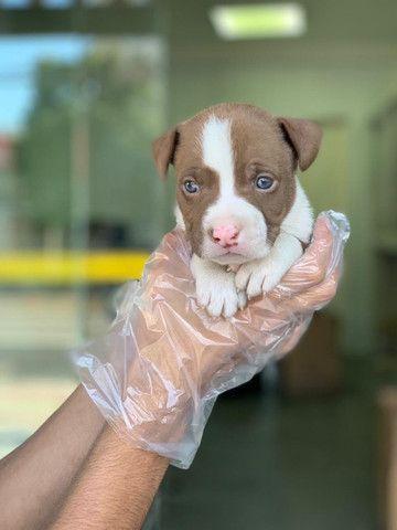 Pitbull American, adquira de uma rede com 11 clinicas e 6 lojas! Mais infos *