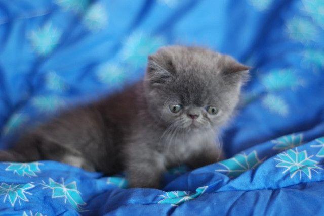 Lindo Filhote Persa exótico Blue - Foto 4