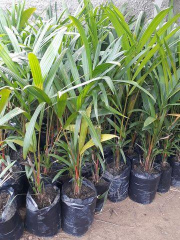 Palmeira laca Vermelha  - Foto 3