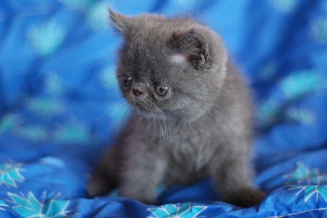 Lindo Filhote Persa exótico Blue - Foto 2