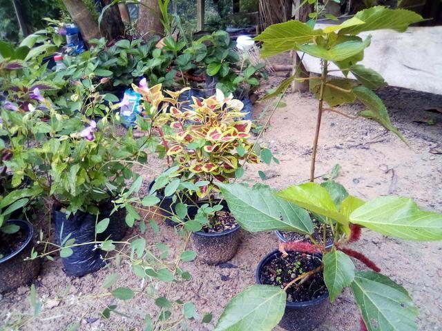 Mudas para jardim - Foto 5