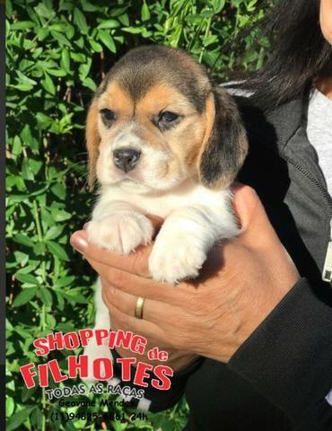 Beagle 13 polegadas, bicolor e tricolor, com suporte veterinário gratuito! - Foto 2