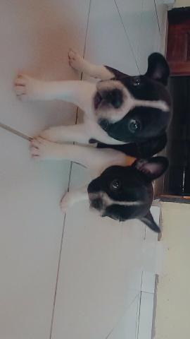 Bulldog Frances filhotes!