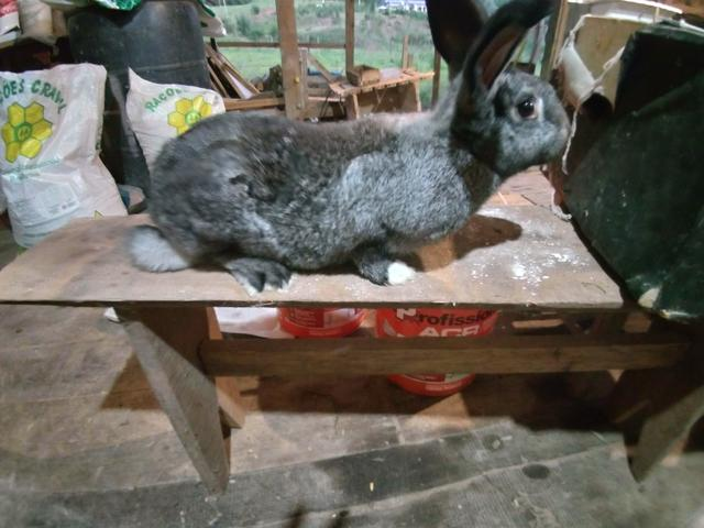 Vendo varias raças de coelhos