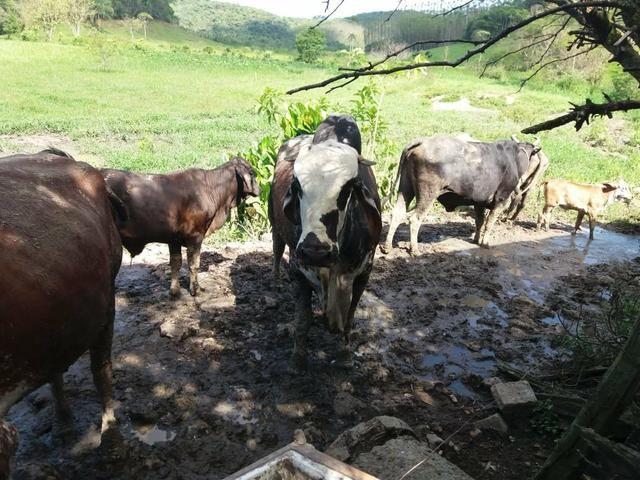 Vendo gado - Foto 2
