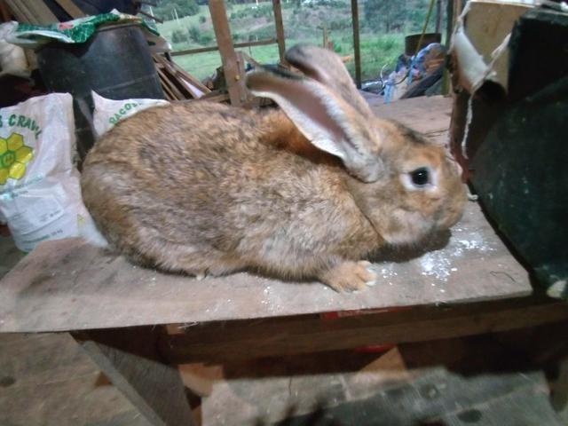 Vendo varias raças de coelhos - Foto 6
