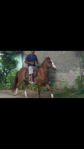 Cavalo marchador 3,500,00 - Foto 2