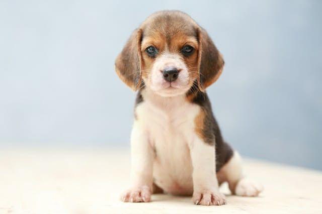 Beagle a alegria da sua casa