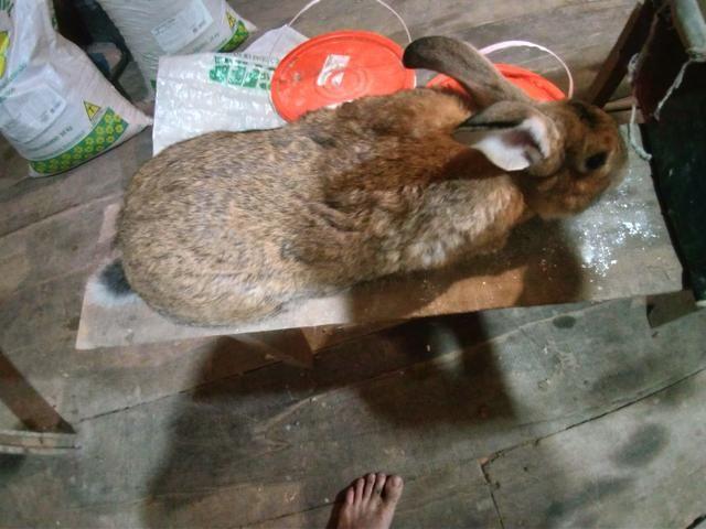 Vendo varias raças de coelhos - Foto 4