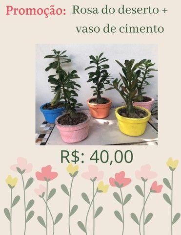 Rosa do deserto + vaso de cimento R$: 40,00