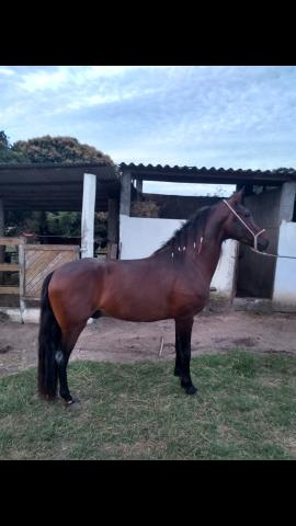 Vende-se cavalo mangalarga registrado