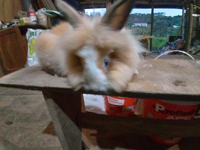Vendo varias raças de coelhos - Foto 3