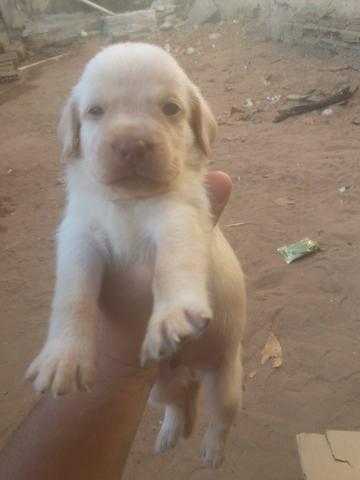 Vendo ou troco Lindos filhotes de Labrador