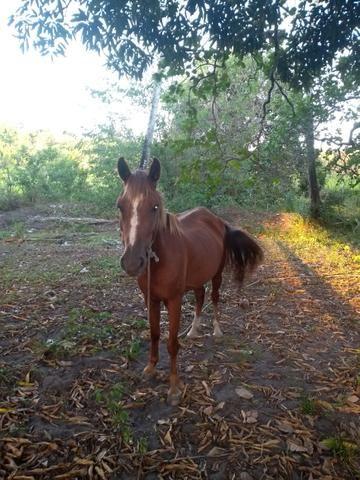 Vendo ou troco uma égua muito boa - Foto 2