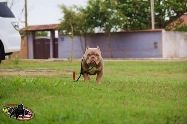 American bully  - Foto 5