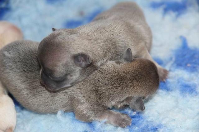 Filhote de chiuaua , com pedigre e garantia genética, canil PS - Foto 3