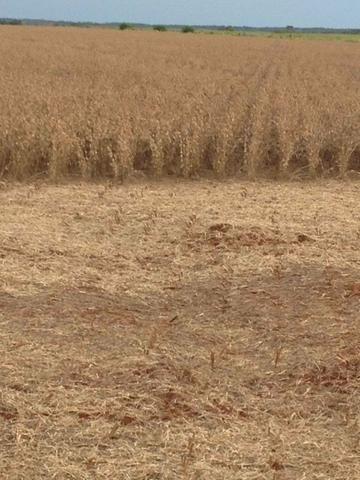 Fazenda. no Ms p Arrendamento de Lavouras 2650 há Show de Bola - Foto 12