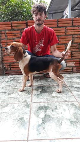 Beagle á venda - Foto 2
