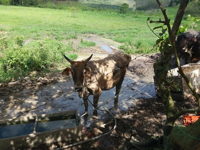 Vendo gado - Foto 5