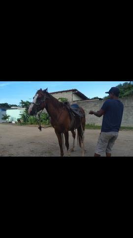 Cavalo marchador 3,500,00