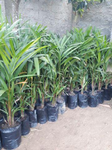 Palmeira laca Vermelha  - Foto 5