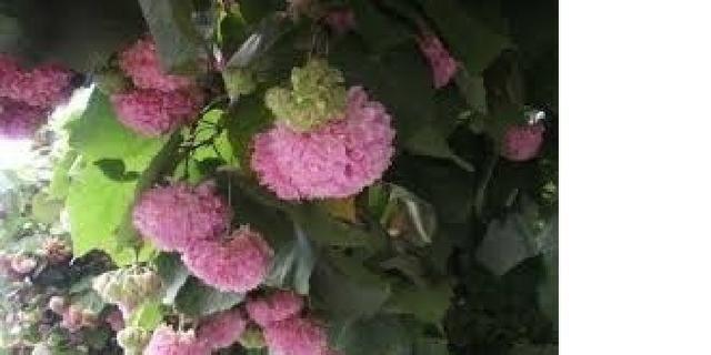 Astrapeia (Dombeya wallichii) R$ 50,00; R$ 30 ou R$ 12,00 - Foto 3