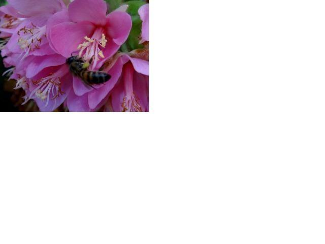 Astrapeia (Dombeya wallichii) R$ 50,00; R$ 30 ou R$ 12,00 - Foto 4