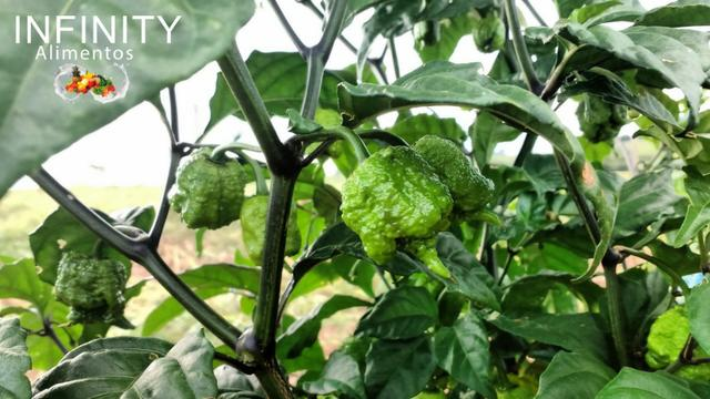 Carolina Reaper a pimenta mais ardida do mundo! - Foto 6