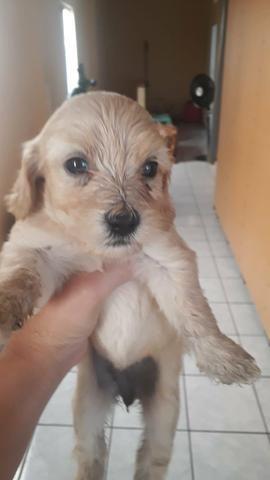 Vendo filhotes de poodle com maltês - Foto 3