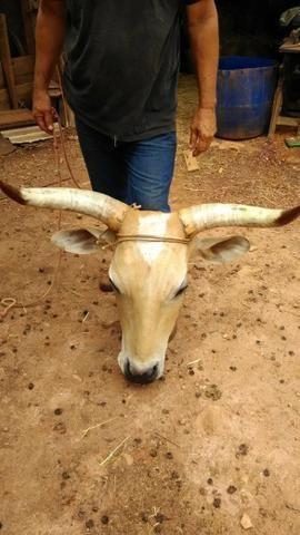 Cabeça de boi embalsamada