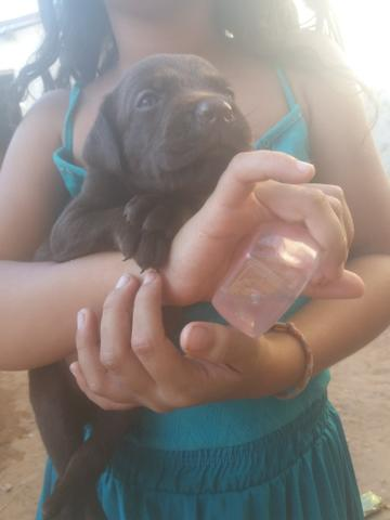 Vendo ou troco Lindos filhotes de Labrador - Foto 3