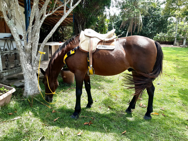 Cavalo Meio Sangue - Foto 3