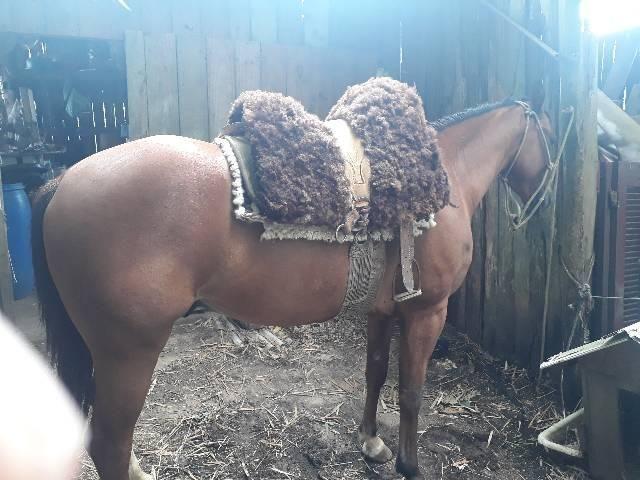Cavalo quarto de milha PO com documentos  - Foto 2