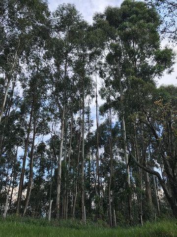 Bosque de eucalipto vendo - Foto 5