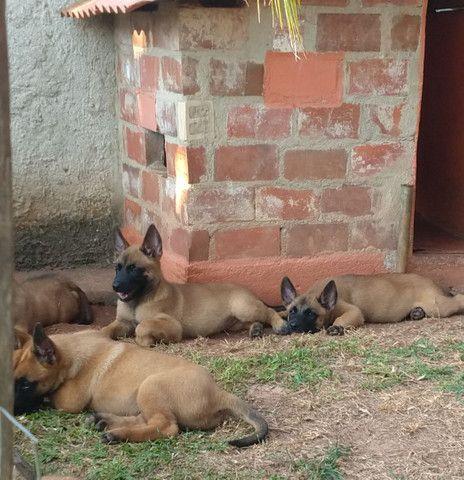 Vendo Filhotes de pastor belga malinois - Foto 6