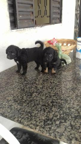 Filhote cachorro poodle + chow chow - Foto 3