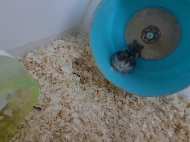 Hamster russo anão machos com aquario lindo - Foto 3