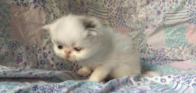 Filhotes Gato Persa - Foto 3