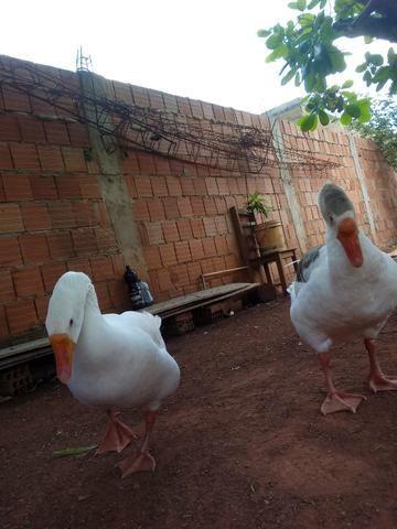 Vendo patos e casal de gansos