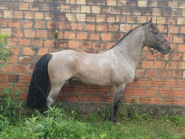 Cavalo crioulo top de laço - Foto 2