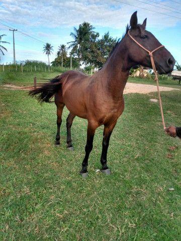 Cavalo Meio Sangue - Foto 2