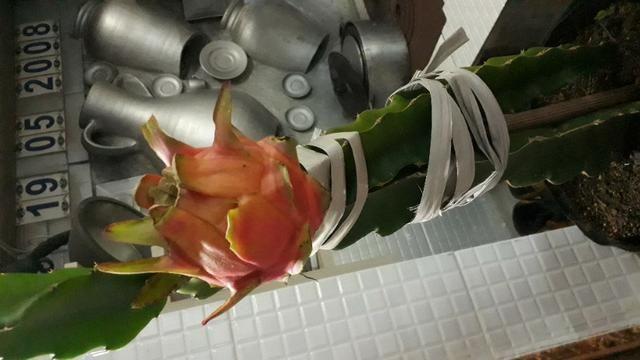 Mudas de pitaya da polpa branca e vermelha - Foto 6