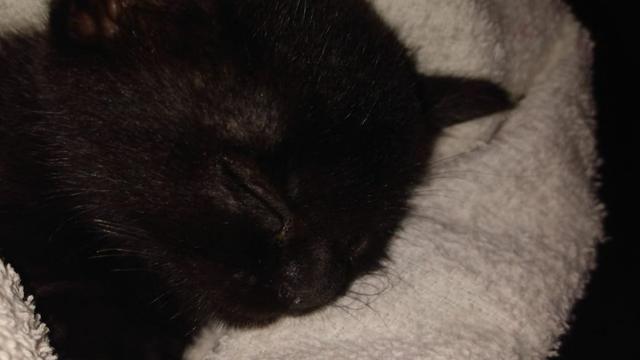 Gatinho filhote para adoção responsável - Foto 4