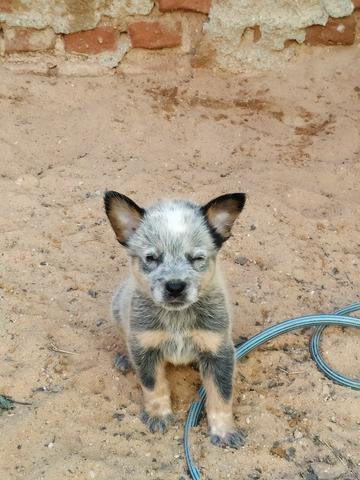 Filhote de Boiadeiro Australiano (Blue Heeler) - Foto 3