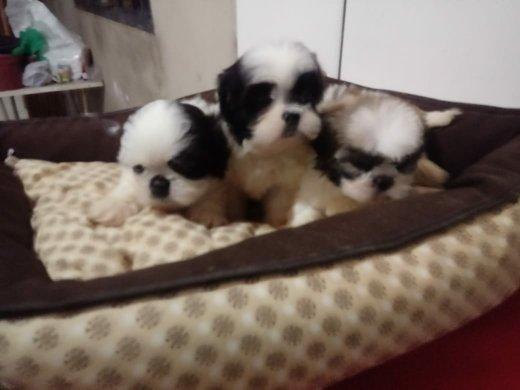 Lhasa apso, pequenos filhotes - Foto 2